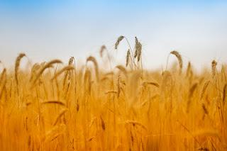 L'huile de germe de blé, riche en vitamine E