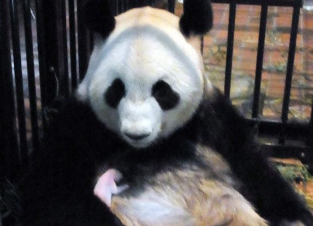 Mort du bébé panda né la semaine dernière au Japon