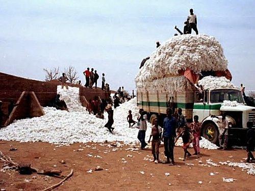 Le coton OGM burkinabé file-t-il un mauvais coton ?