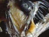 Pourquoi poissons abysses sont-ils aussi laids