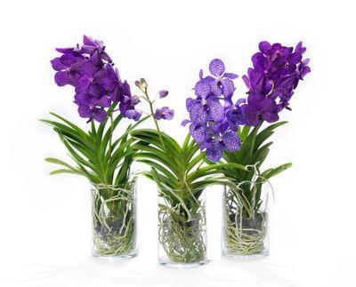 l 39 orchid e vanda la plus belle des orchid es lire. Black Bedroom Furniture Sets. Home Design Ideas