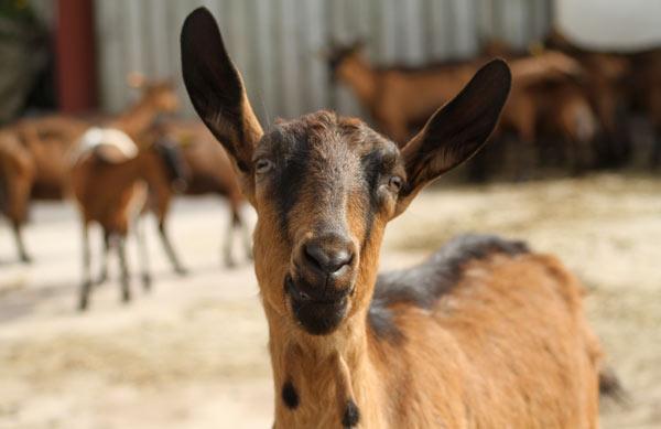 Chèvre de la chèvrerie du Brabant