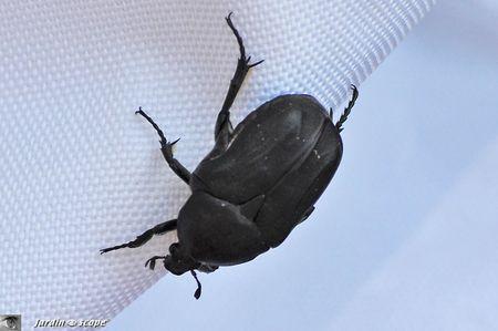 Un petit scarab e noir commun en corse paperblog for Cafard noir de jardin