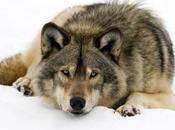 écrivent Delphine Batho propos loup