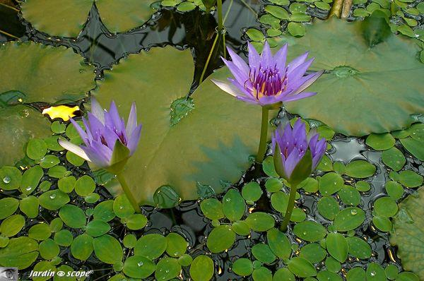 Nymphaea colorata