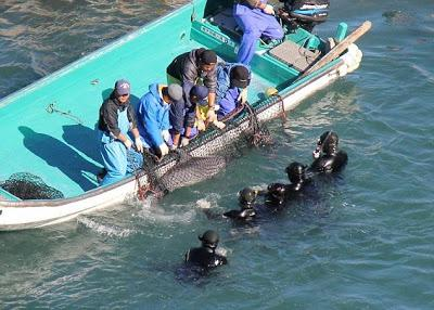 Les premiers massacres de dauphins