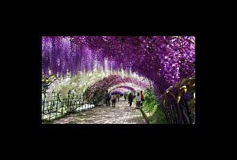 Tunnel wisteria aux jardins kawachi fuji voir for Jardines kawachi fuji