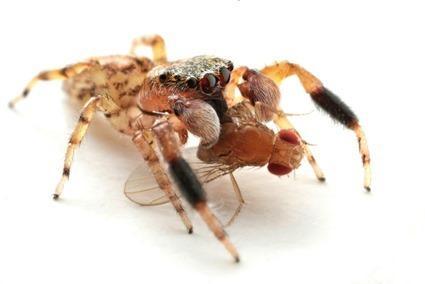 Araignée dévorant une drosophile, François Michonneau