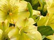 plante d'Alstroemeria, Incas