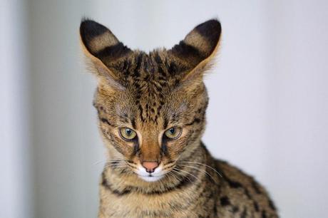 Savannah \u2013 Le Grand Chat Serval