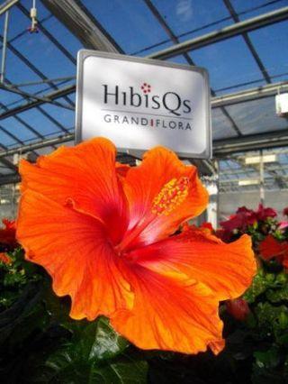 5 conseils pour un hibiscus paperblog for Engrais hibiscus exterieur