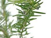 L'huile essentielle romarin cinéole Rosmarinus officinalis cineoliferum