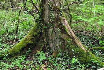 TREES  Variegated foliage