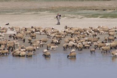 moutons ferretcapiens