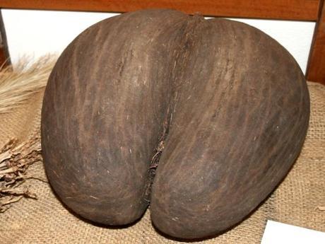 Coco-fesses - Lodoicea maldivica - alsagarden (2)