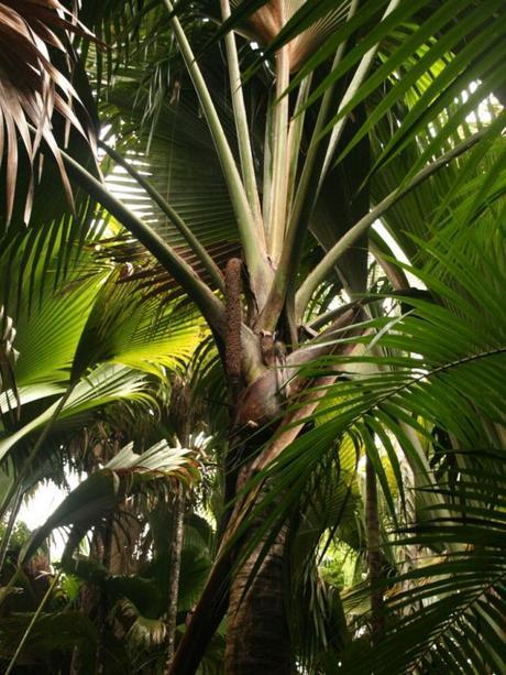 Coco-fesses - Lodoicea maldivica - alsagarden (4)