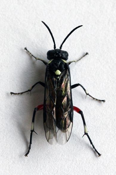 Tenthrède à scutellum blanc, Macrophya punctumalbum