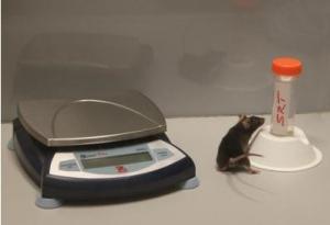 DÉCLIN COGNITIF: La restriction calorique conserve les neurones – Journal of Neuroscience