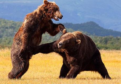 animals-fighting-1
