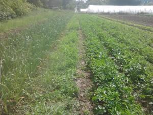 Ma culture de pommes de terre nouvelles aura pour effet d'empêcher une grande partie des repousses de liserons...