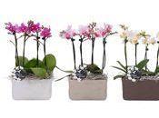 L'Orchidée Phalaenopsis pour fête Mères