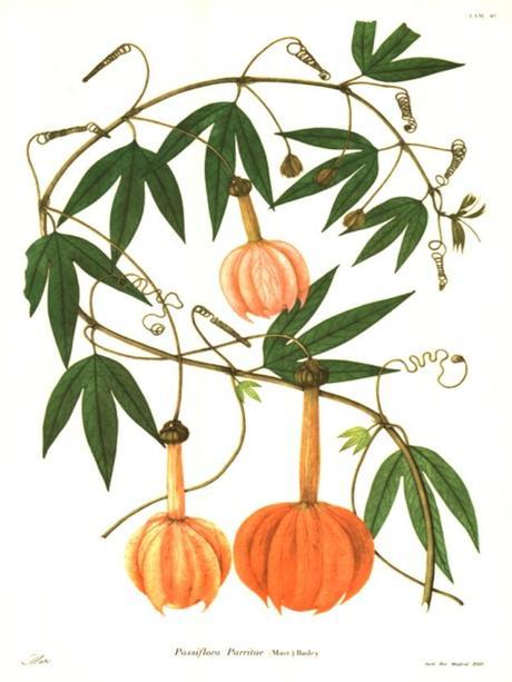 Passiflora parritae - plantes rares - alsagarden (3)