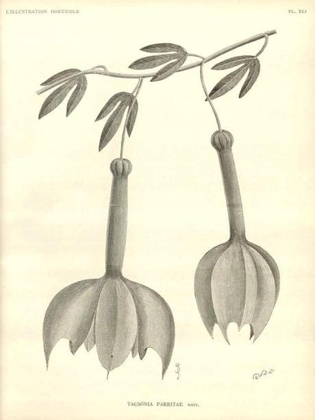 Passiflora parritae - plantes rares - alsagarden (2)