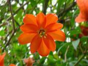 Passiflora parritae, Saint Graal Passiflores rares