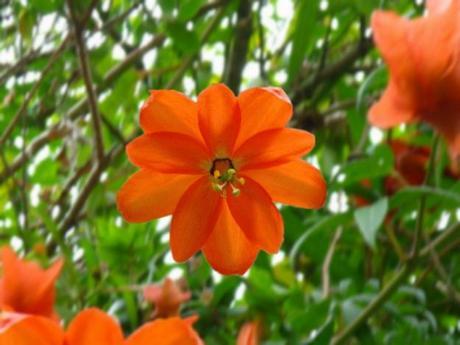 Passiflora parritae - plantes rares - alsagarden (1)