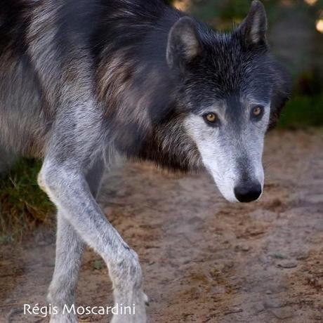 loup parc gevaudan 3 585x585 [La Boite à Photos] Comment réussir un portrait dans un parc animalier