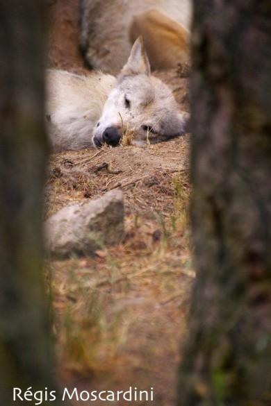 loup parc gevaudan 2 390x585 [La Boite à Photos] Comment réussir un portrait dans un parc animalier