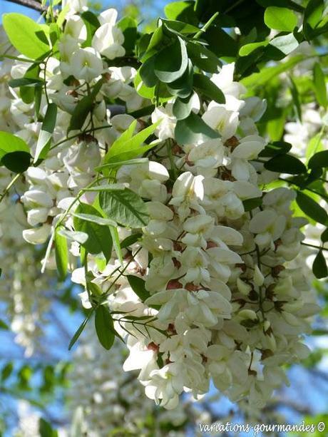 Beignets de fleurs d'acacias