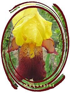 iris rouge et jaune-copie-1