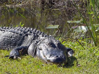 alligator-everglades.jpg