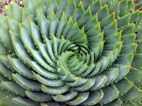 Aloe polyphylla - plante rare - alsagarden (2)