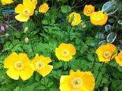 plante chouchou printemps pavot jaune
