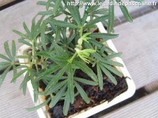 Bouture oranger du mexique r ussie voir - Oranger du mexique feuilles jaunes ...