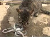 chat, pieuvre propriétaire