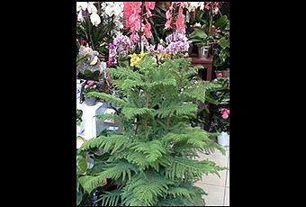L araucaria une plante d int rieur atypique lire - Araucaria plante d interieur ...