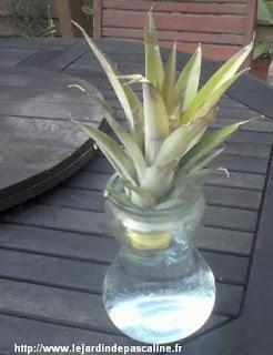 Faire pousser un ananas paperblog - Comment planter un ananas ...