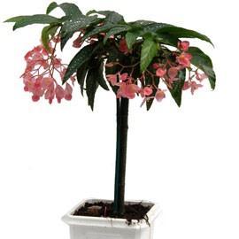 une plante originale le tamaya voir. Black Bedroom Furniture Sets. Home Design Ideas