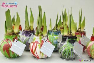 Nouveau des plantes d 39 amaryllis sans eau paperblog for Bulbe amaryllis