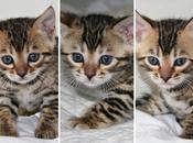 Naissance 07/12/2013 chatons sont maintenant disponibles!