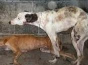 Aidez nous sortir chiens d'Espagne,scandale perrera Mareina..