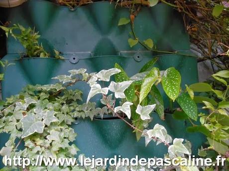 bouture de begonia maculata paperblog. Black Bedroom Furniture Sets. Home Design Ideas