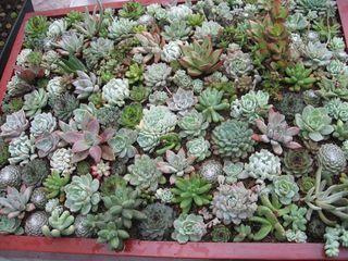 Des plantes qui reviennent la mode les succulentes for Plantes exterieur resistant gel