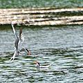 Duo de sternes pierregarin autour d'un poisson