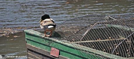 Canard sur la barque