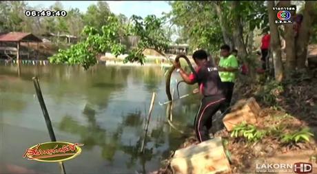 Competition de natation: Thaïlandais vs cobra royal de 4 mètres [HD]