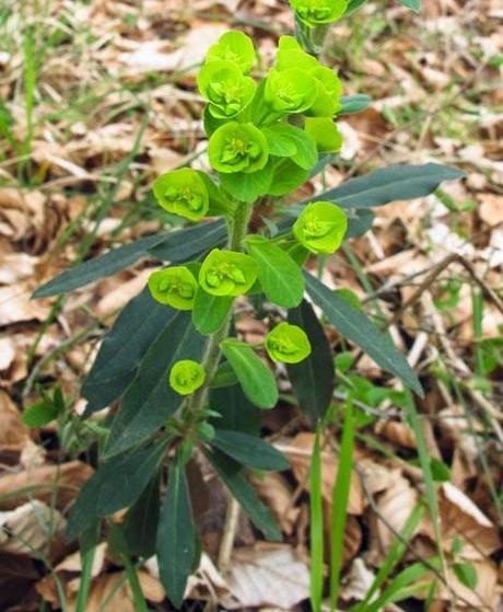 Euphorbia amygdaloides (Euphorbe des bois)